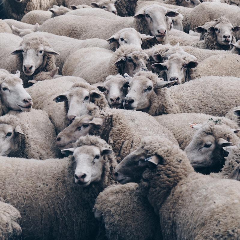 Schafherde für Connemara Kategorie Wollmischungen